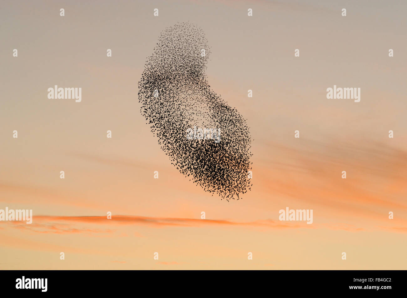 Starling strömen (Sturnus Vulgaris) bei Sonnenuntergang, in den Himmel, die durch Anwesenheit von Raubtieren, Stockbild