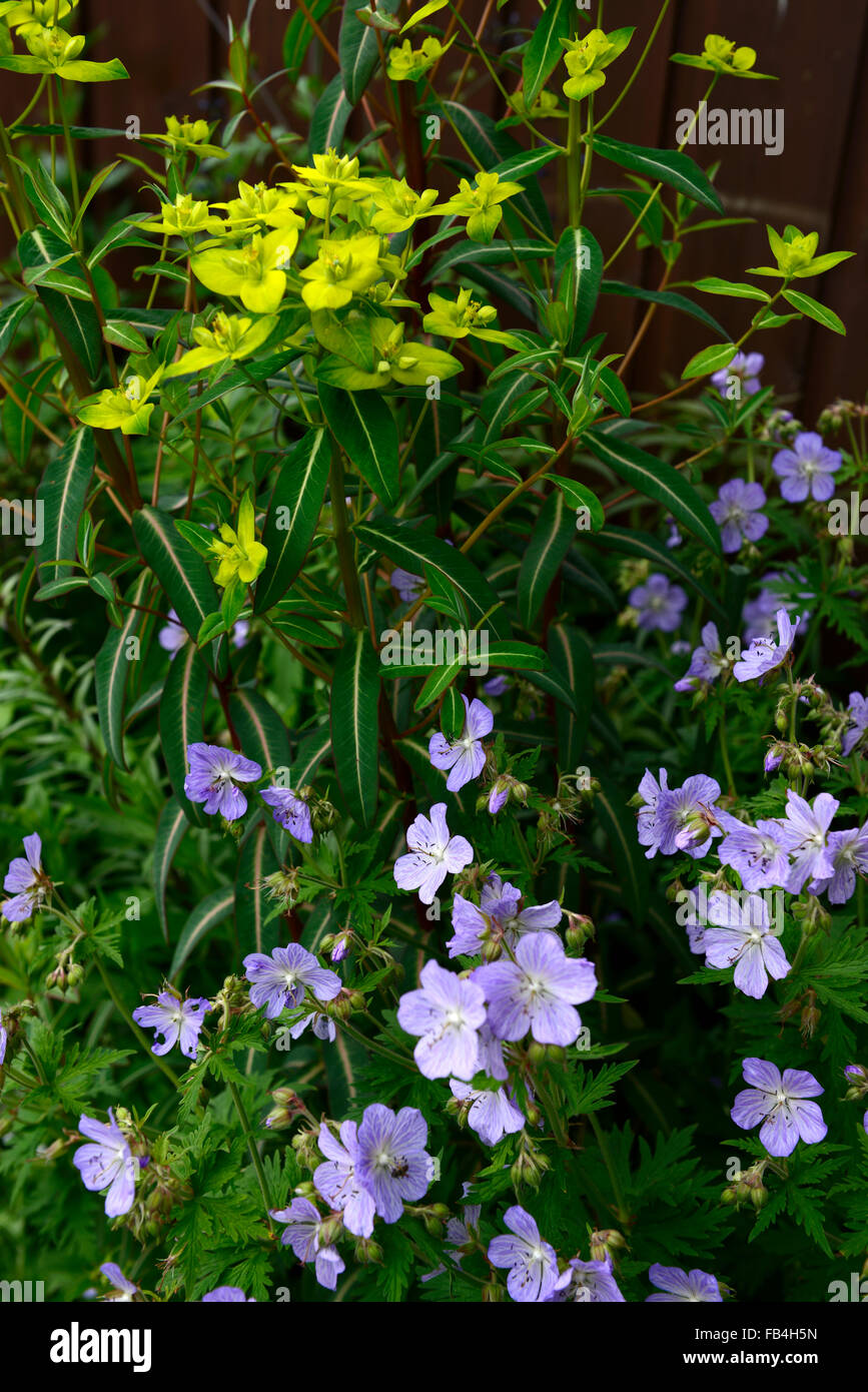 Geranie Frau Kendall Clarke Euphorbia Frühlingsblume Blumen blühen mehrjährige blau grün RM Stockbild