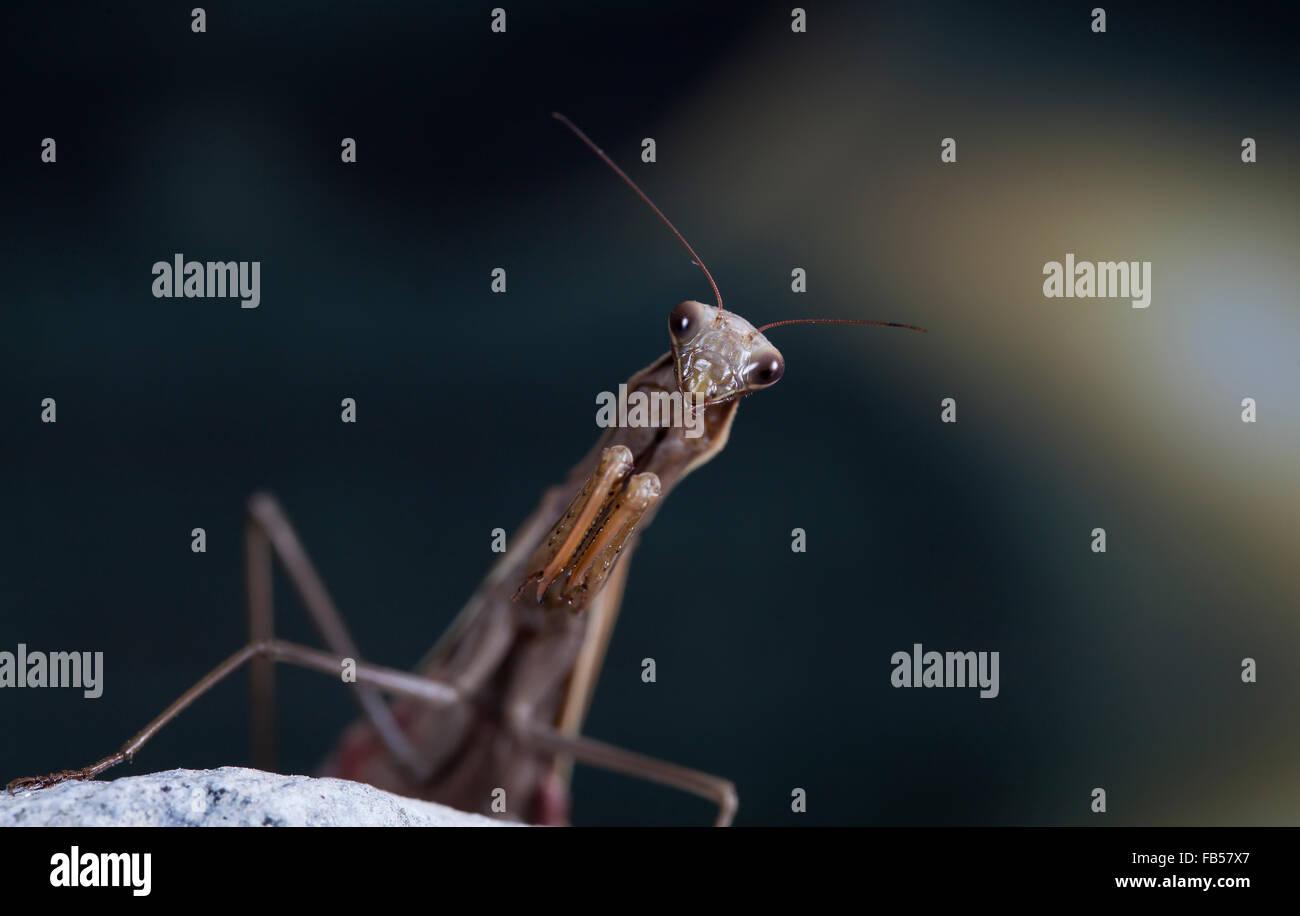 Das große Weibchen der mantis Stockbild