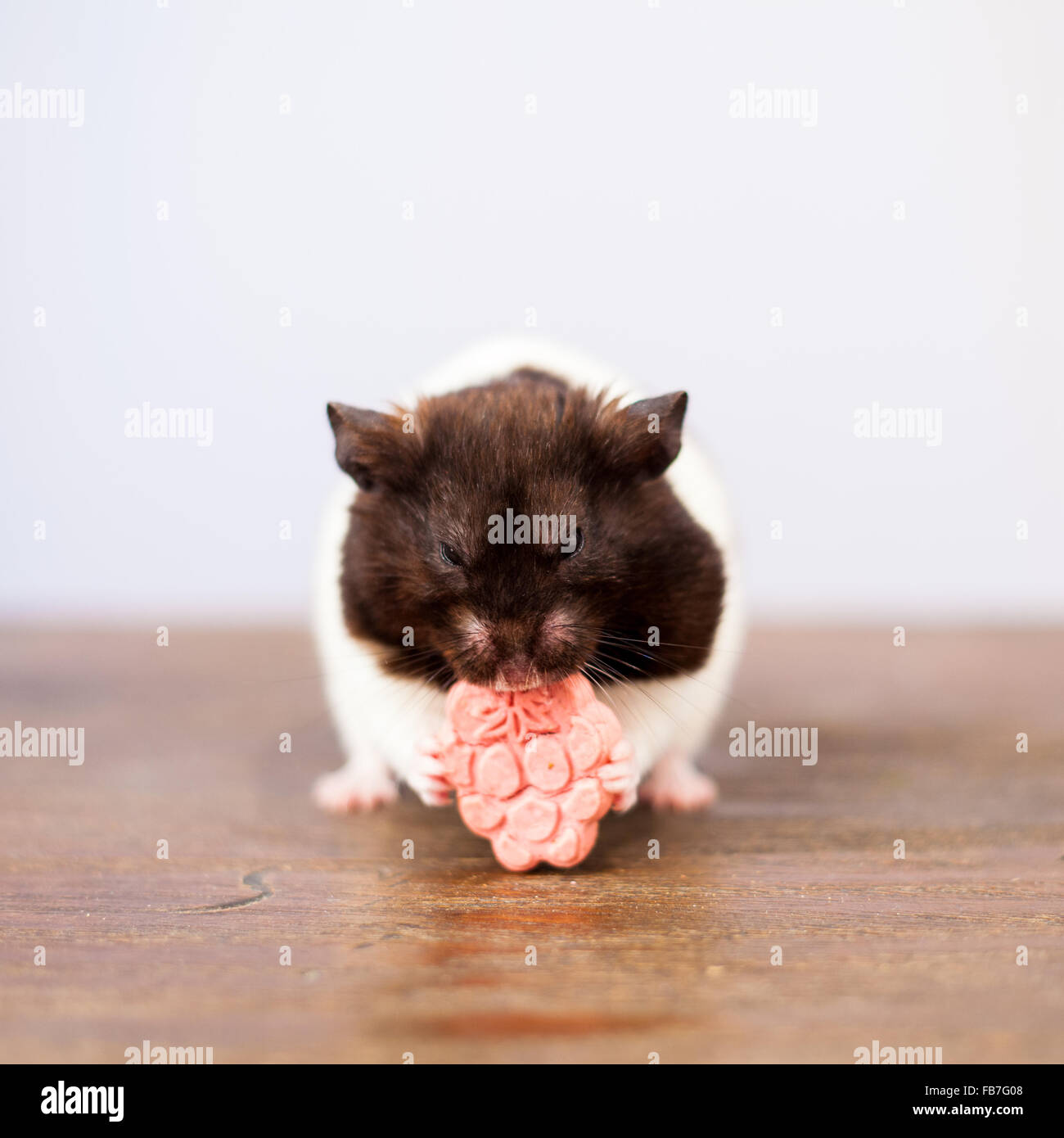schwarz wei syrischen hamster essen eine rosa himbeere. Black Bedroom Furniture Sets. Home Design Ideas