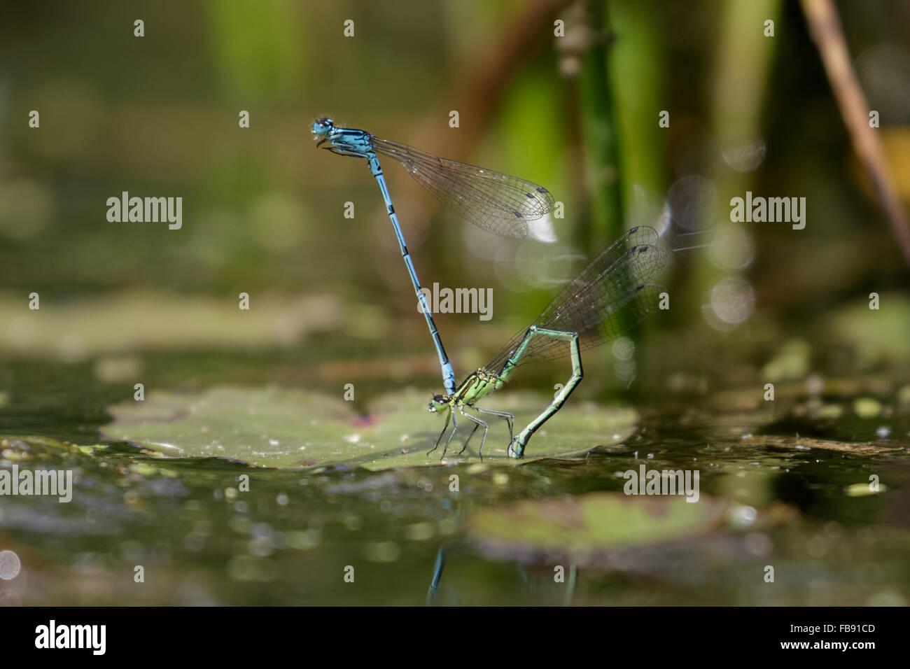 Azure Libellen (Coenagrion Puella) Verlegung von Eiern oder Ovipositiing unter einem Lilypad. Stockbild