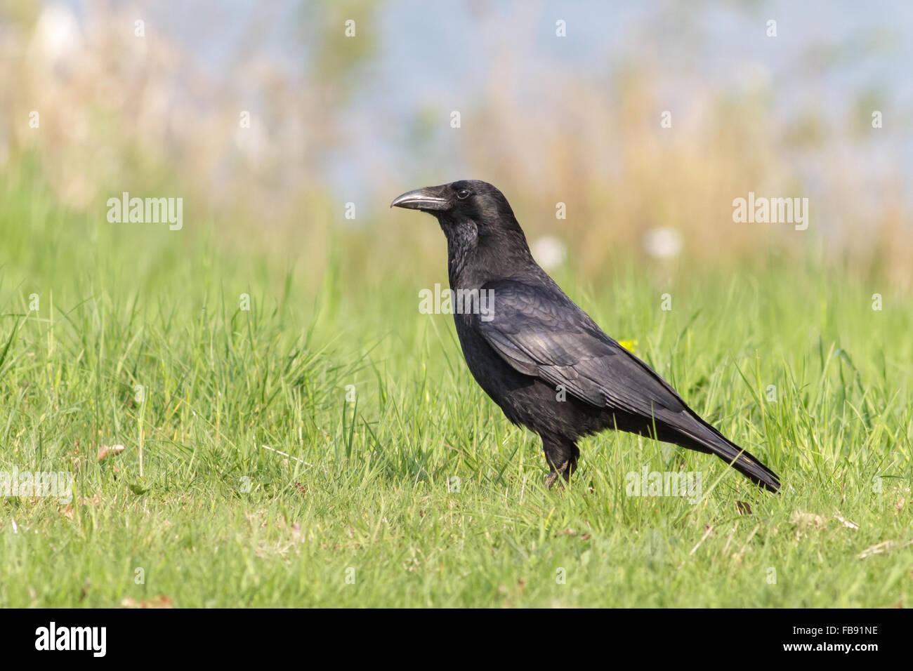 AAS-Krähe (Corvus Corone) draußen auf der Wiese. Stockbild