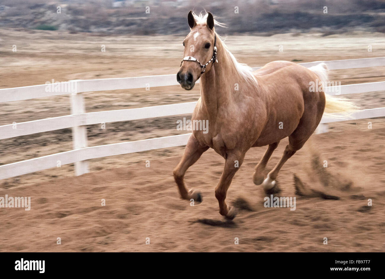 Ein hübscher Junge Palomino Pferd galoppiert mit der Freiheit der eine munter Colt bei einem Pferd Schulungseinrichtung Stockbild