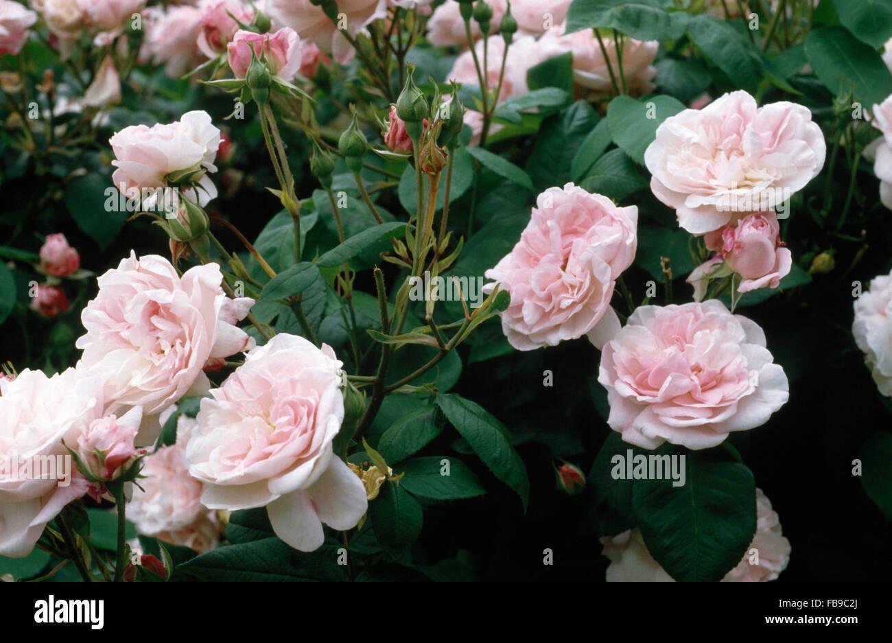 Nahaufnahme von blass rosa Great Maidens Blush Rosen Stockbild