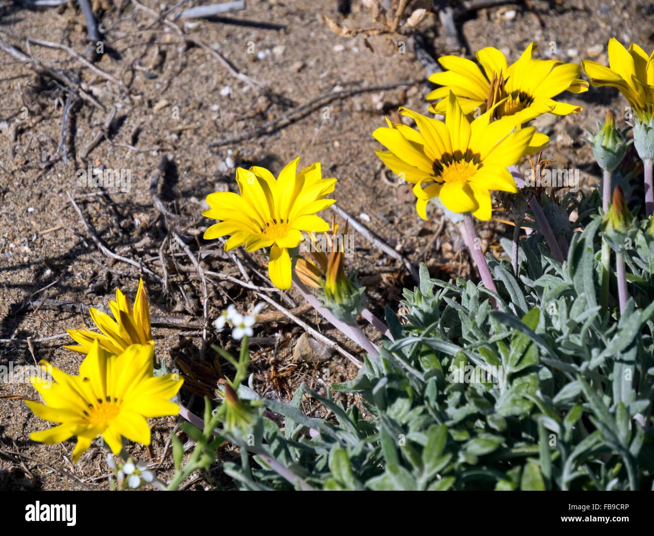 Goldmünze, Mittelmeer Strand Daisy (Asteriscus Maritimus, Bubonium Maritimum) Stockbild