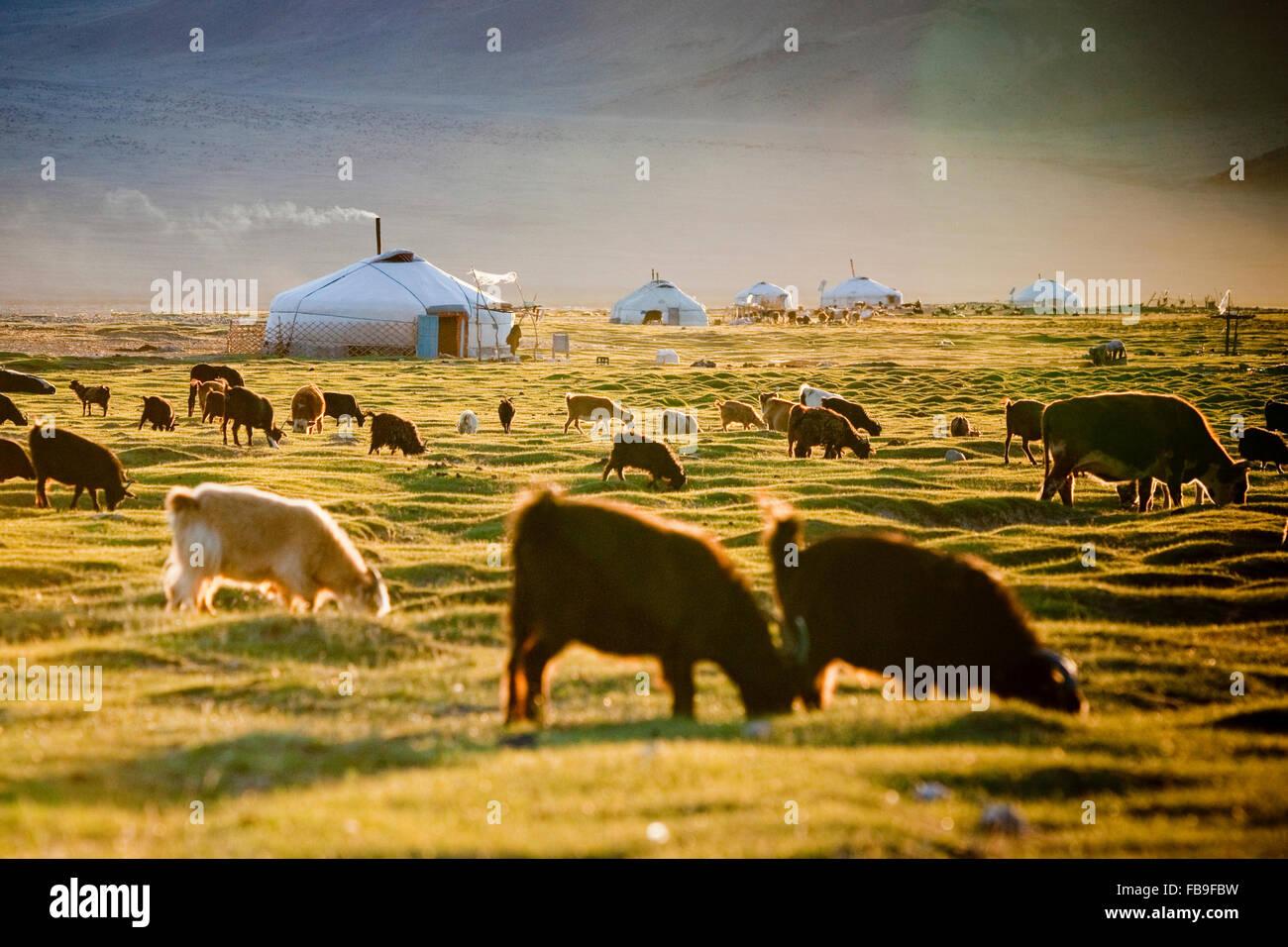Eine Herde Weiden in einem milden Sommer in das manchmal extreme Klima des Tals Tsaast Uul im entlegenen Westen Stockbild