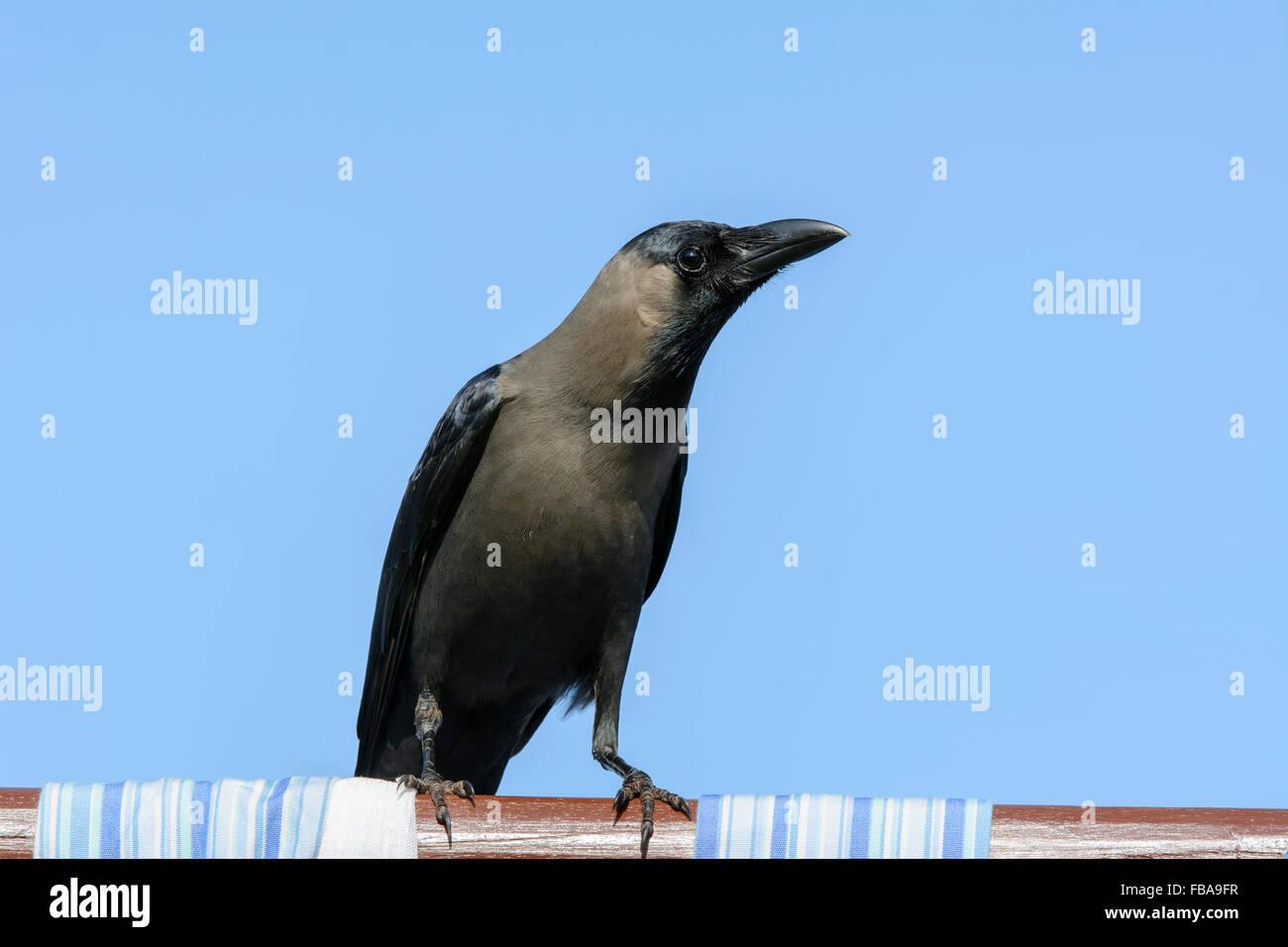 Nahaufnahme von einem indischen Haus Krähe (Corvus Splendens), einer der häufigsten Vögel in Goa, Stockbild