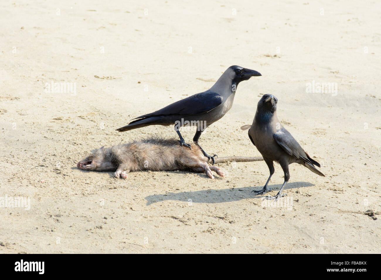 Zwei indische Haus Krähen (Corvus Splendens) entdecken Sie eine tote Ratte am Strand von Arambol, Nord-Goa, Stockbild