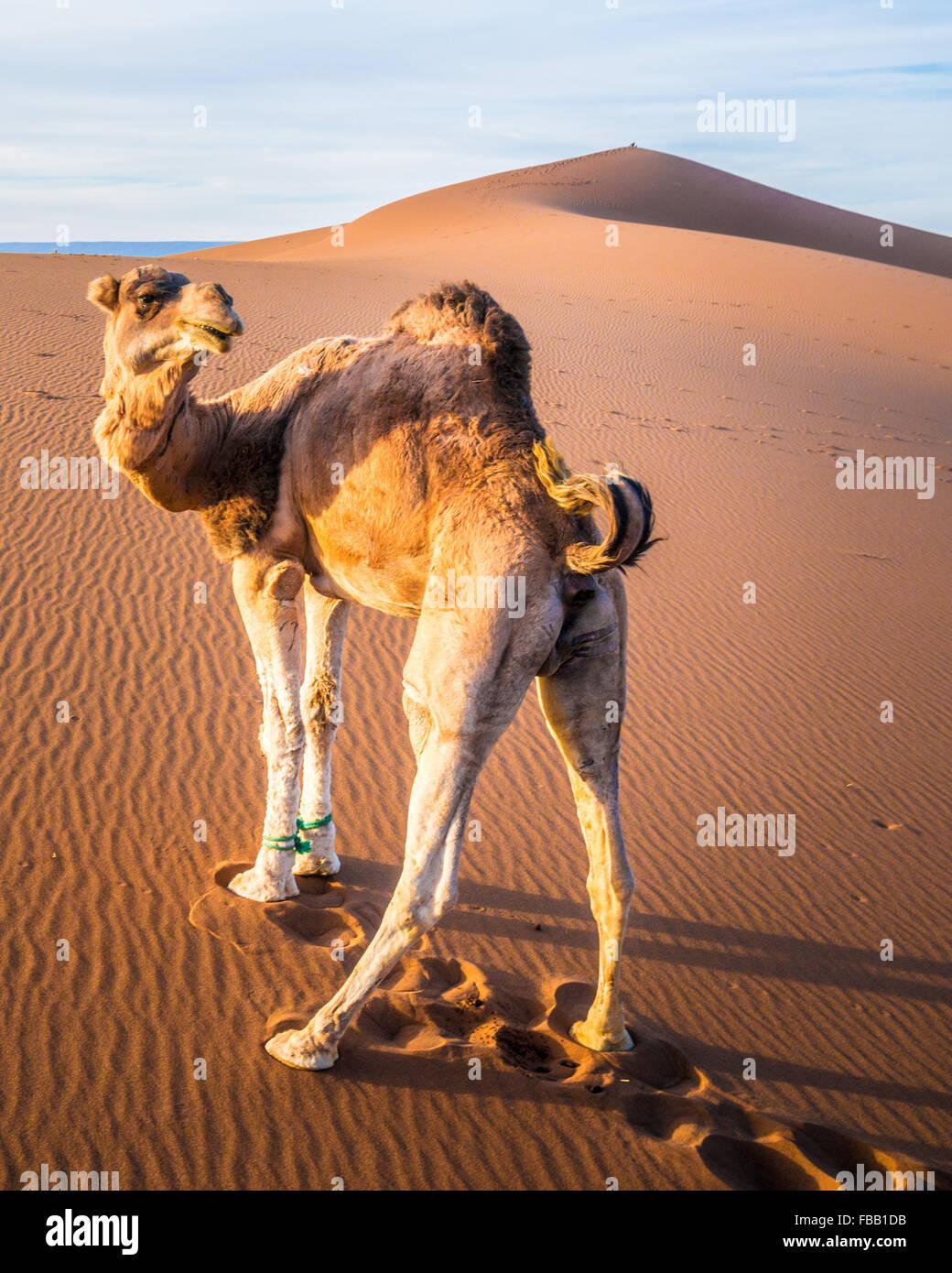 Fiesty Kamel, Erg Chegaga-Marokko Stockbild