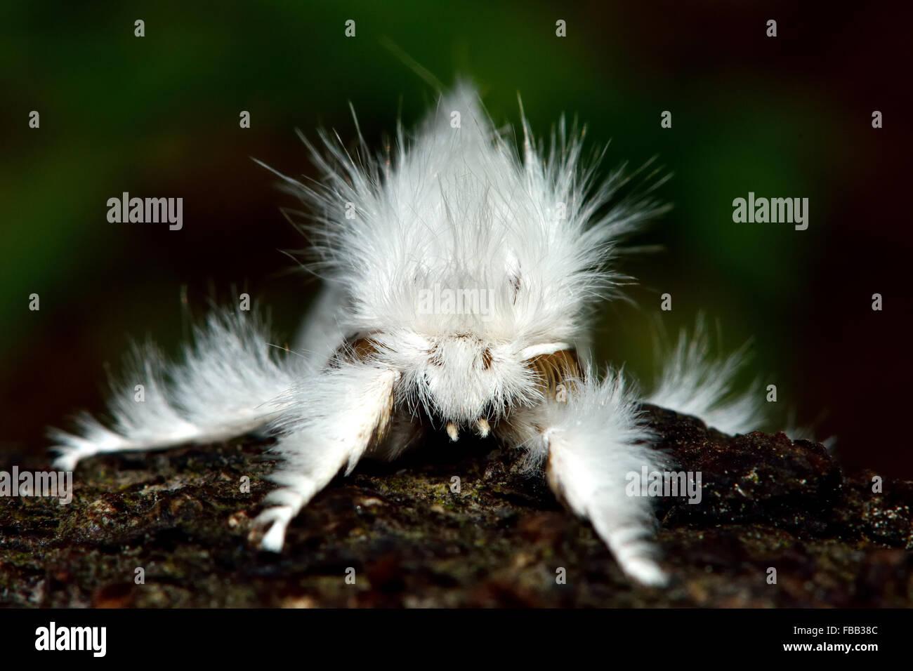 Gelb-Tail Motte (Euproctis Similis). Ein außergewöhnlich behaarte Motte in der Familie Erebidae, frontal Stockbild