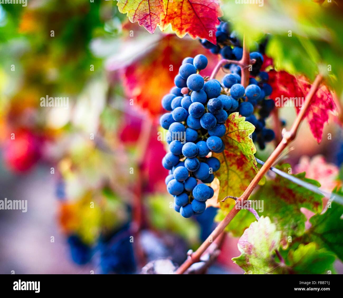 Blick auf Reife blauen Traube am Weinstock, Oakville, Napa Valley, Kalifornien Stockbild