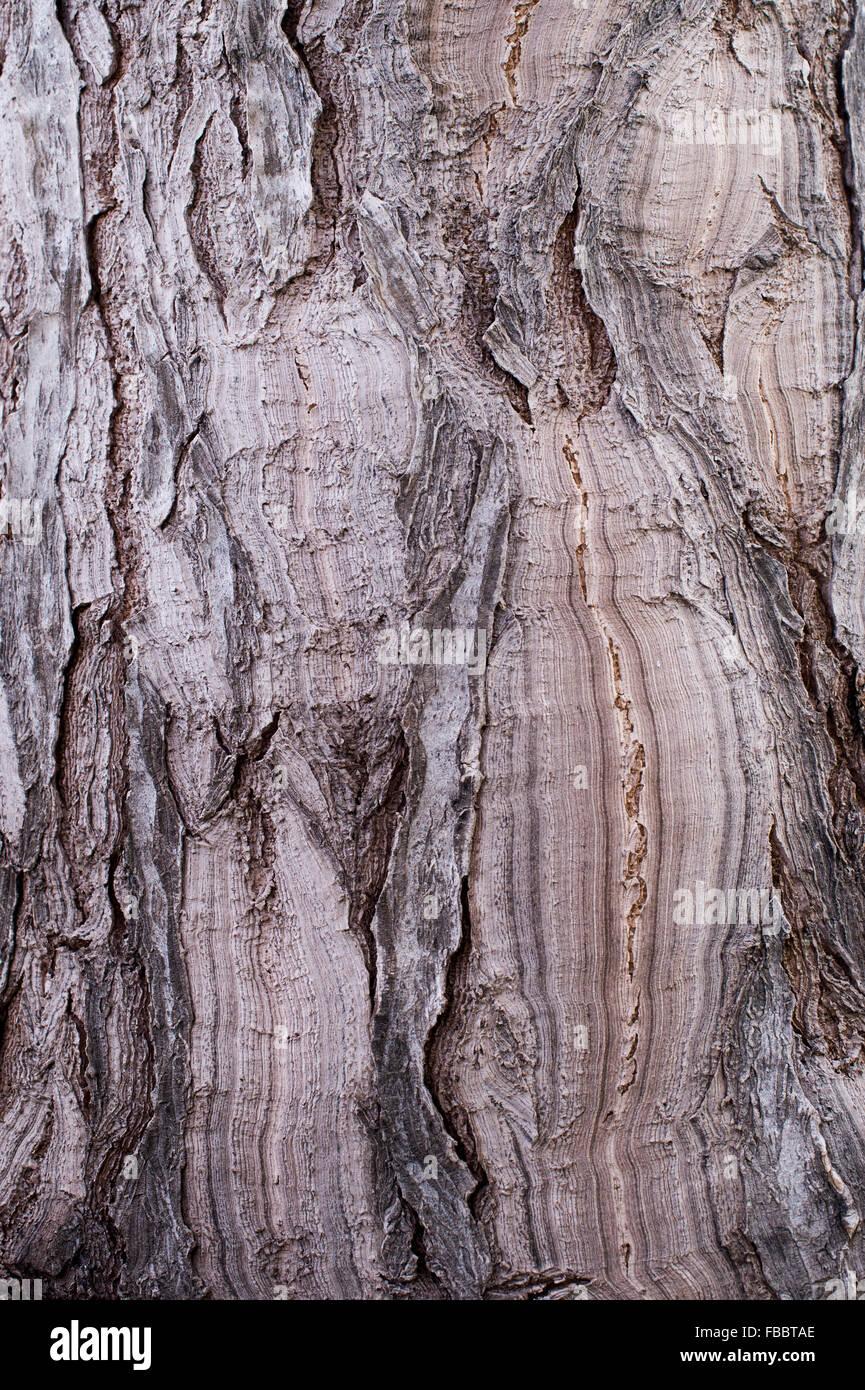 Beaucarnea guatemalensis. Guatemala Ponytail Palm Rinde in RHS Wisley Gardens. Surrey, England Stockbild