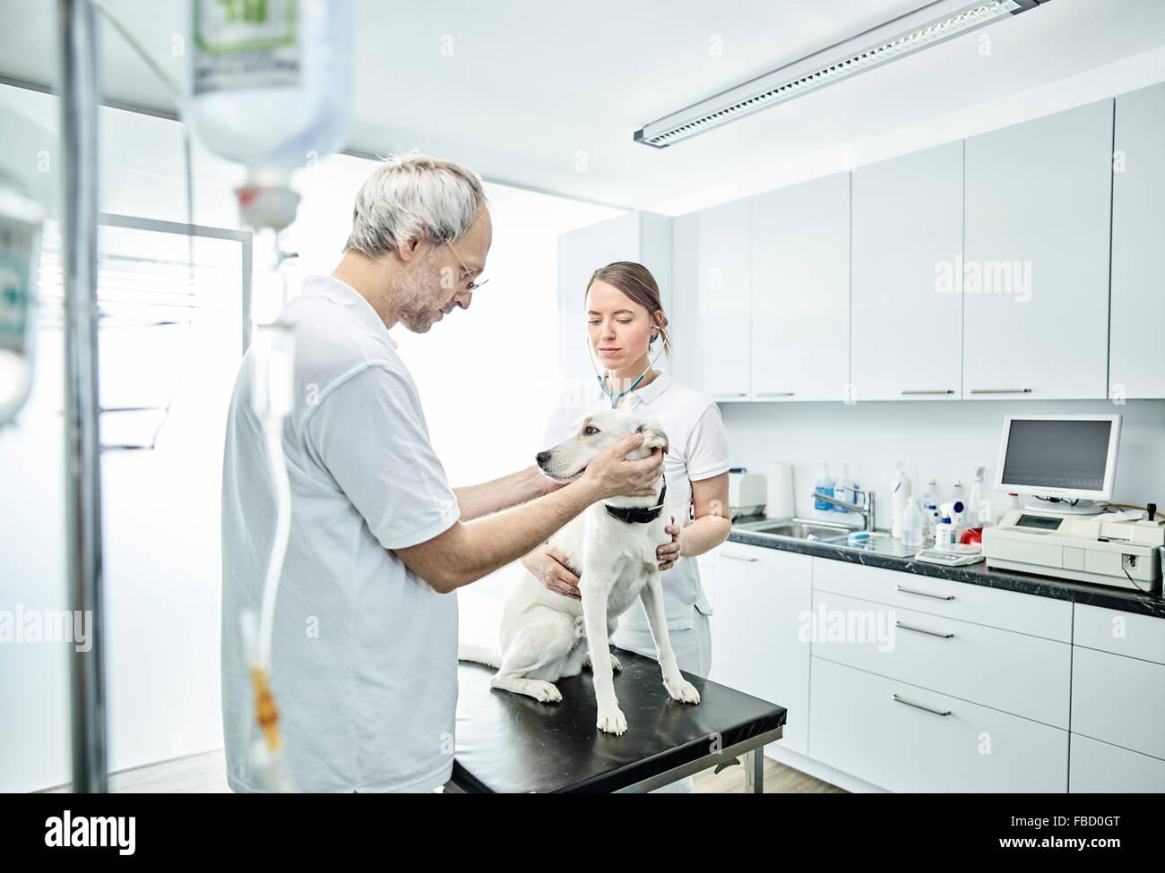Tierärzte untersuchen Hund in der Tierheilkunde, Österreich Stockbild