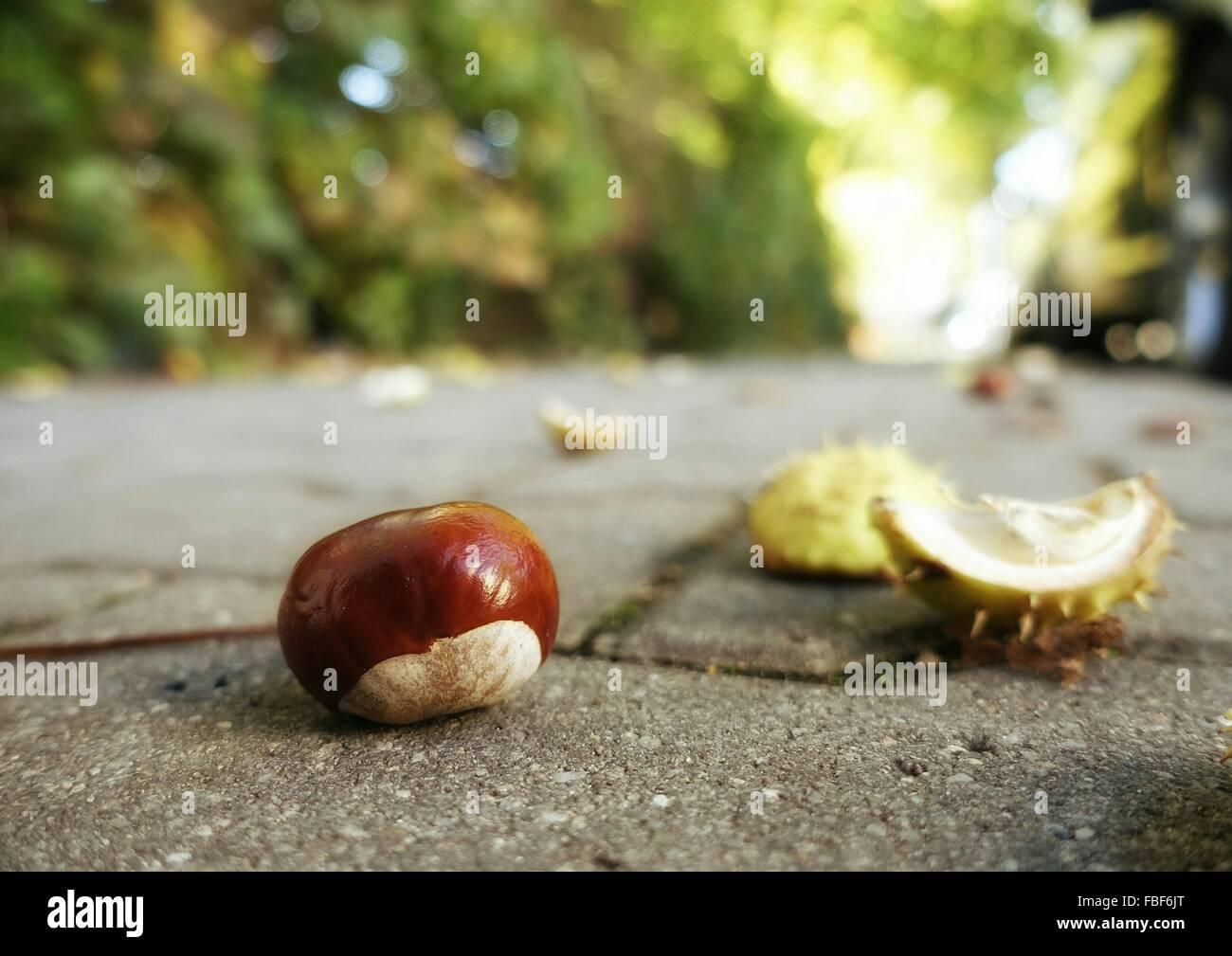 Nahaufnahme der gefallenen Kastanien auf Fußweg Stockbild