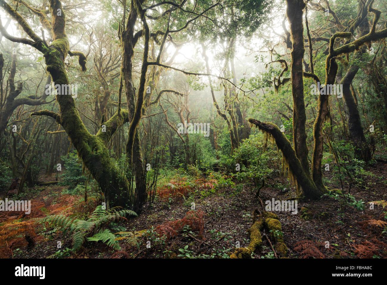 Spanien, La Gomera, Lorbeer, Wald, Moos, Skurril, Bäume, Äste, Farn, Farben, Stimmung, Nebel, mystisch, Stockbild