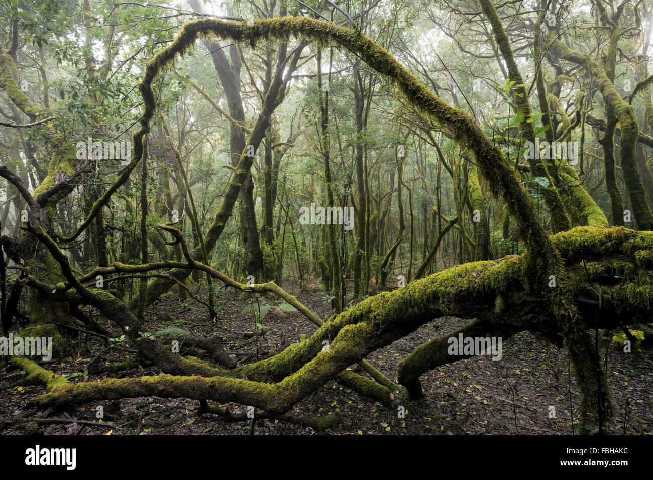 Spanien, La Gomera, Lorbeer, Wald, Moos, Skurril, Bäume, Äste, Farben, Stimmung, Nebel, mystisch, Vegetation, Stockbild