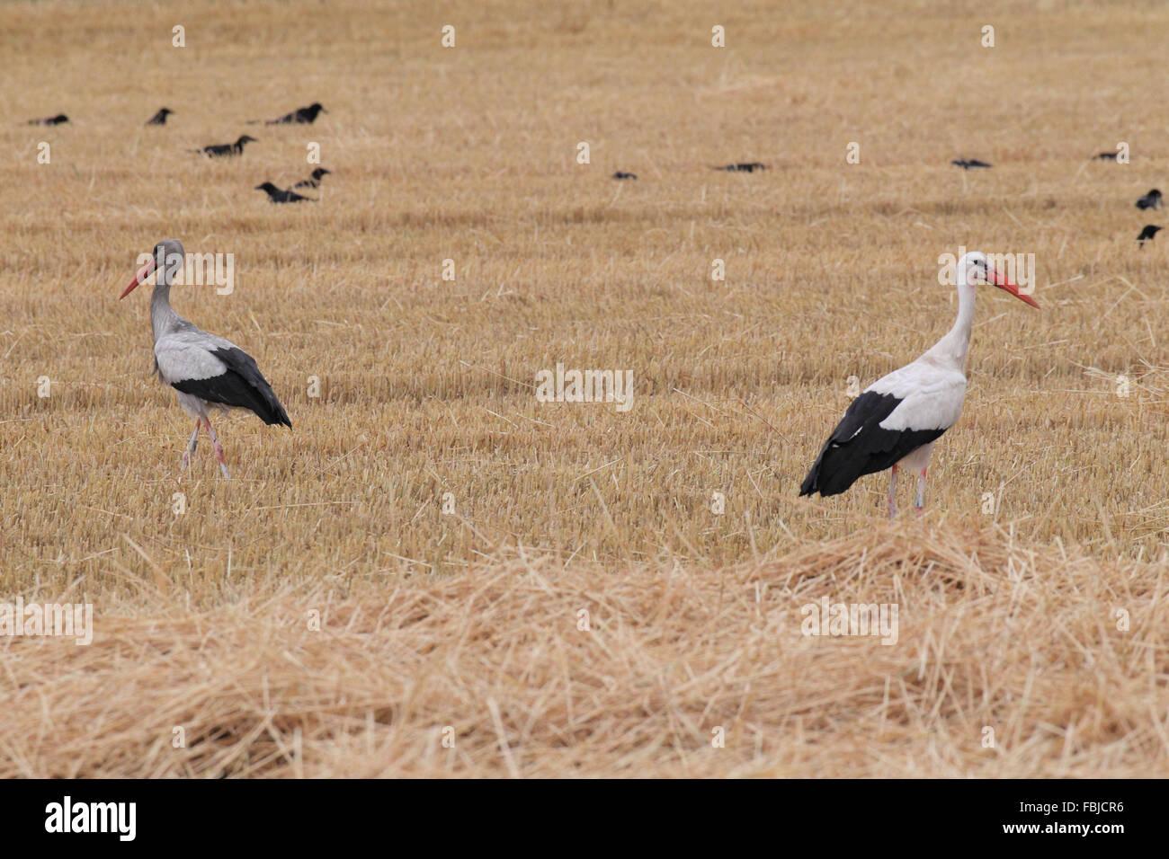 Weißstorch und Rabenkrähen, Ciconia ciconia Stockbild