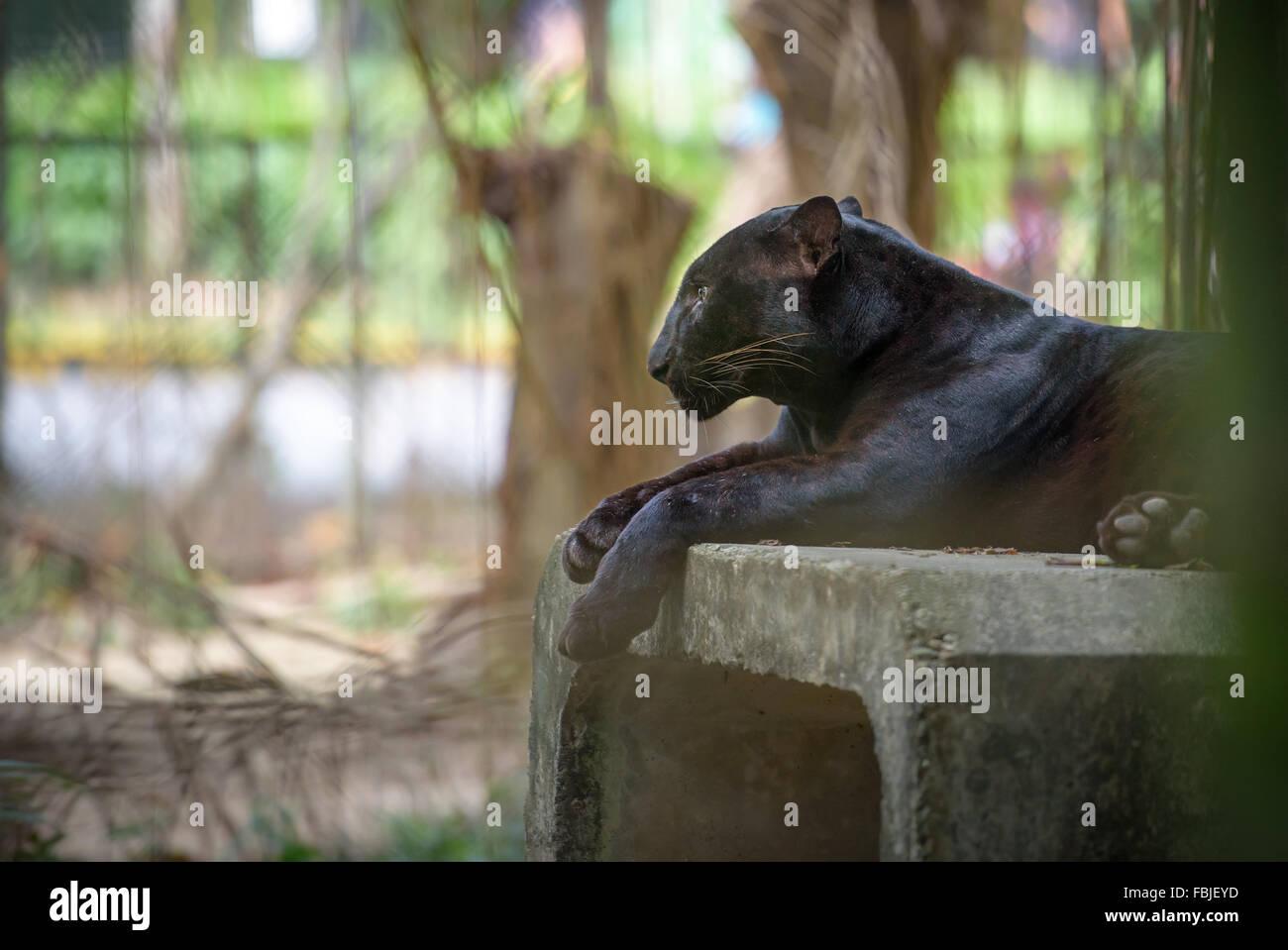 Black Panther ruhen Stockbild
