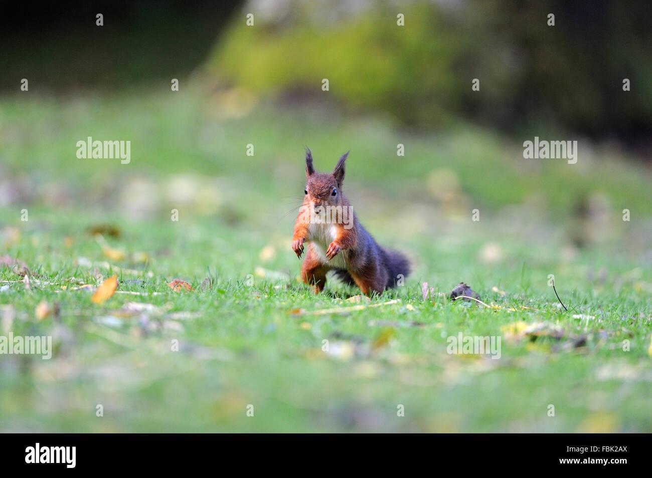 Eichhörnchen (Sciurus Vulgaris) Sprung nach vorn, auf der Wiese im Garten, im Newlands-Tal in der Nähe von Keswick, Stockfoto