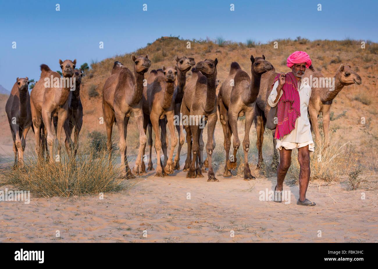 Kamel-Treiber mit seinen Kamelen auf dem Weg nach Pushkar Mela, Pushkar Camel Fair, Rajasthan, Indien Stockbild