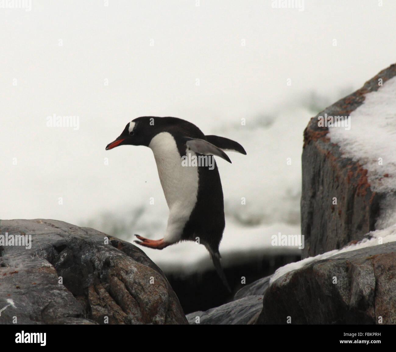 ein Gentoo-Pinguin Sprung von einem Felsen in der Antarktis Stockbild