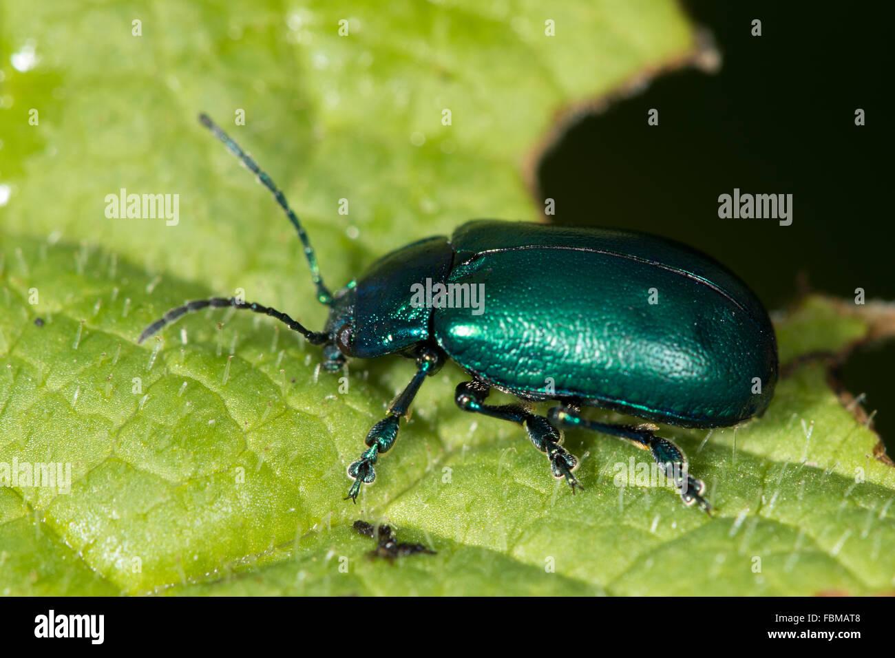 Irisierende grüner Käfer (Altica SP.) auf einem Blatt Stockfoto