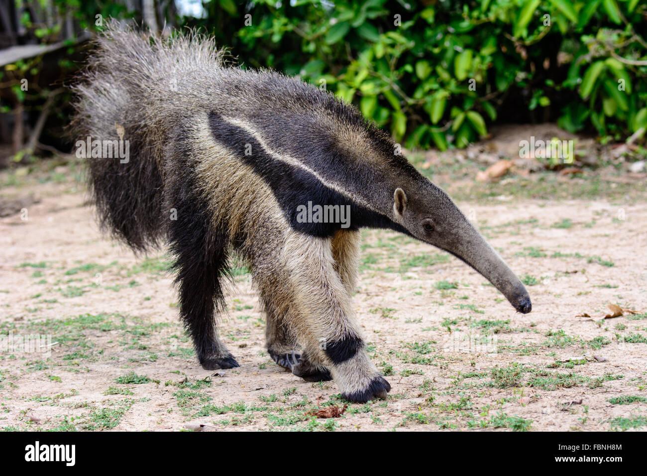 Großer Ameisenbär unterwegs Stockbild