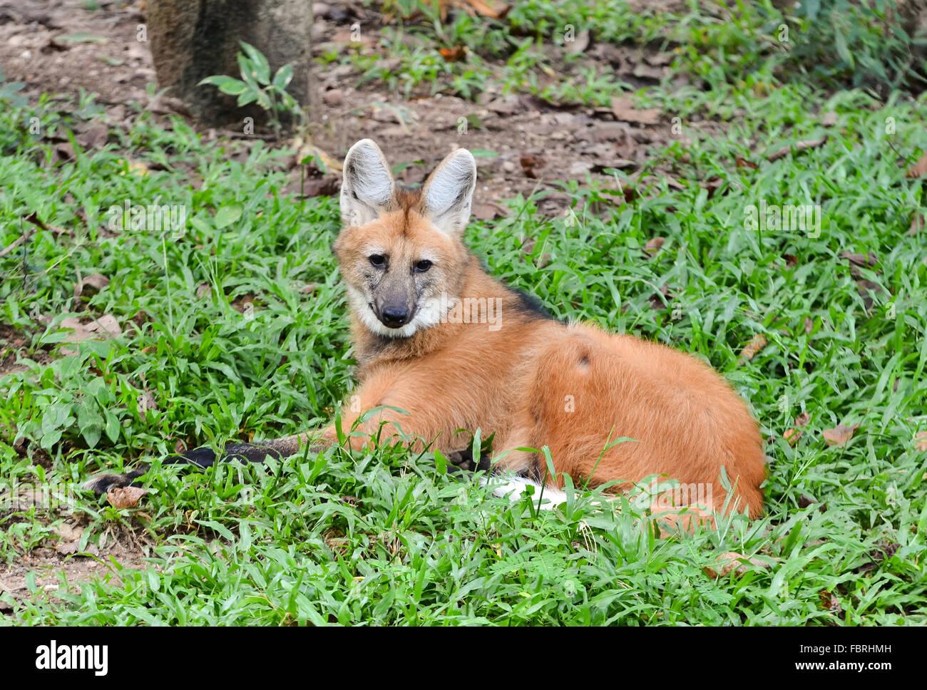 Mähnenwolf legte sich auf dem Rasen Stockbild