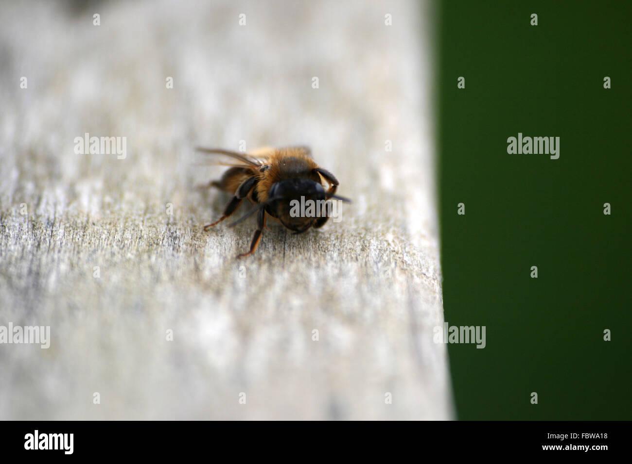Nahaufnahme einer müde Biene, Cornwall, England Stockbild