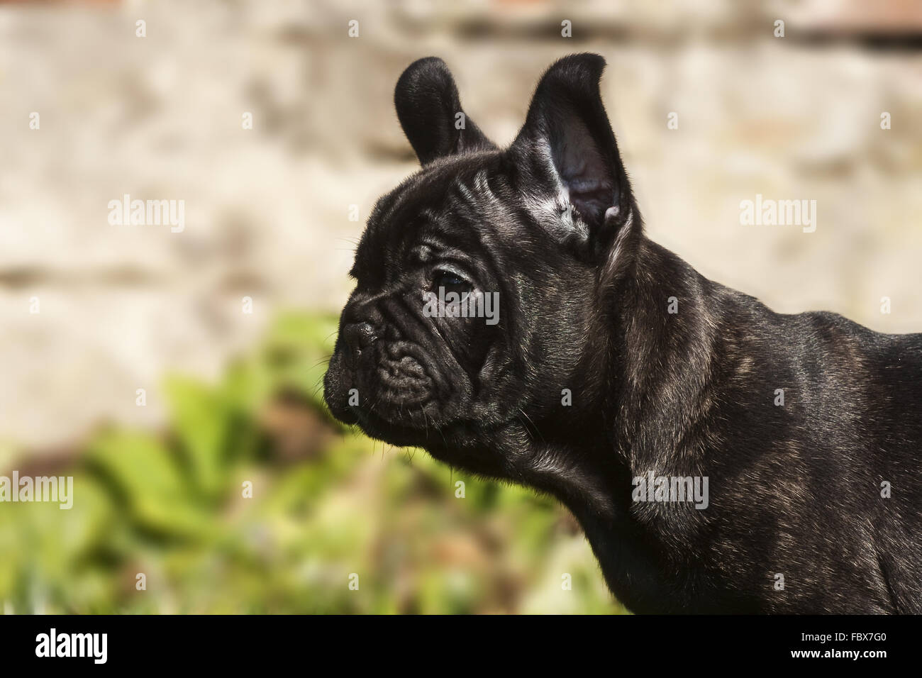 französische Bulldogge Welpen Porträt profil Stockbild