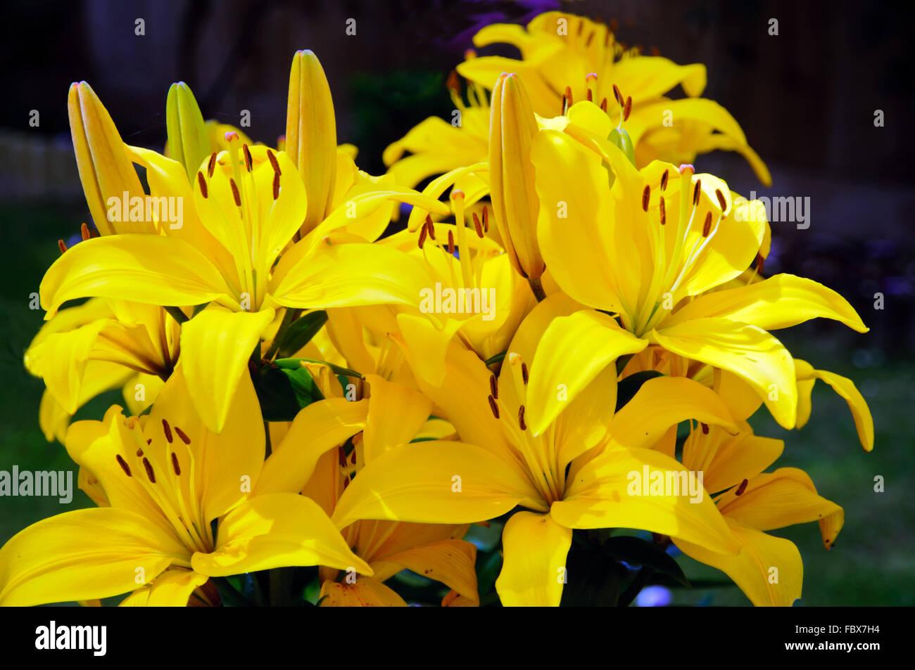 Gelbe Lilien in voller Blüte Stockbild