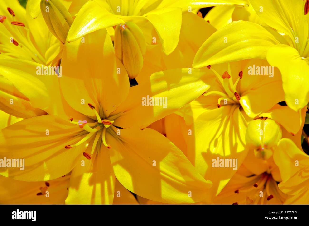 Nahaufnahme eines gelben Lilien Stockbild