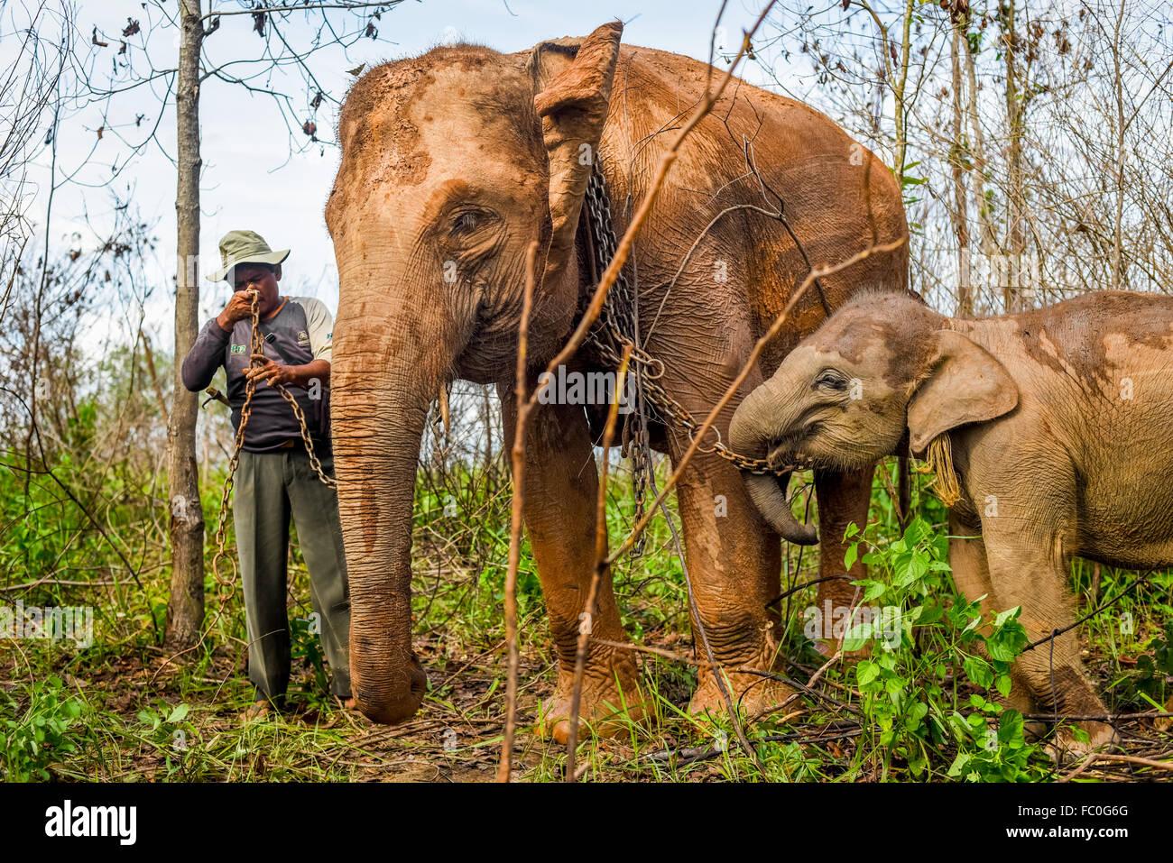 Ein Mahout Paarung Erwachsene Sumatra-Elefanten mit ihren Baby für einen Spaziergang im Nationalpark Way Kambas, Stockbild