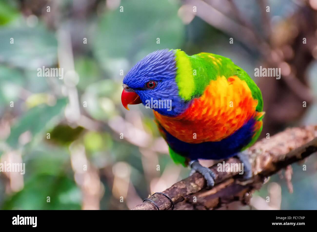 Regenbogen-lori Stockbild