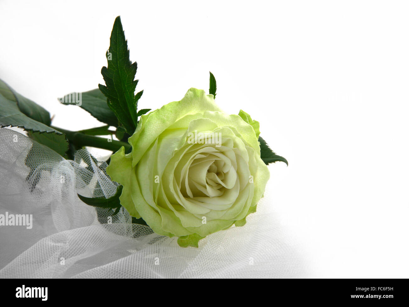 Grünliche rose Stockfoto