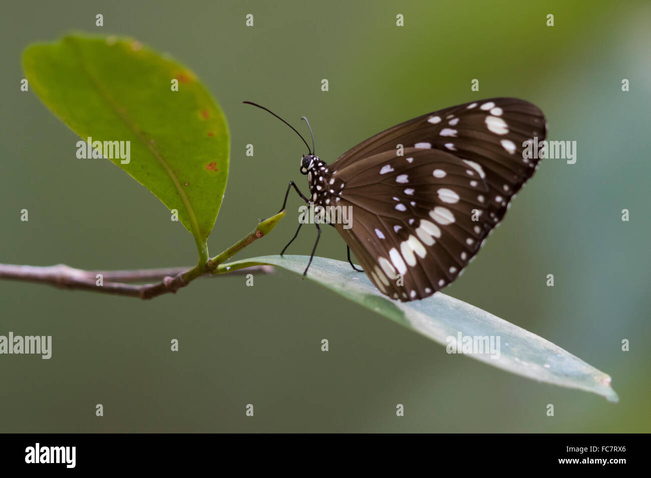 Gemeinsamen Krähe Schmetterling (Euploea Core) Stockbild