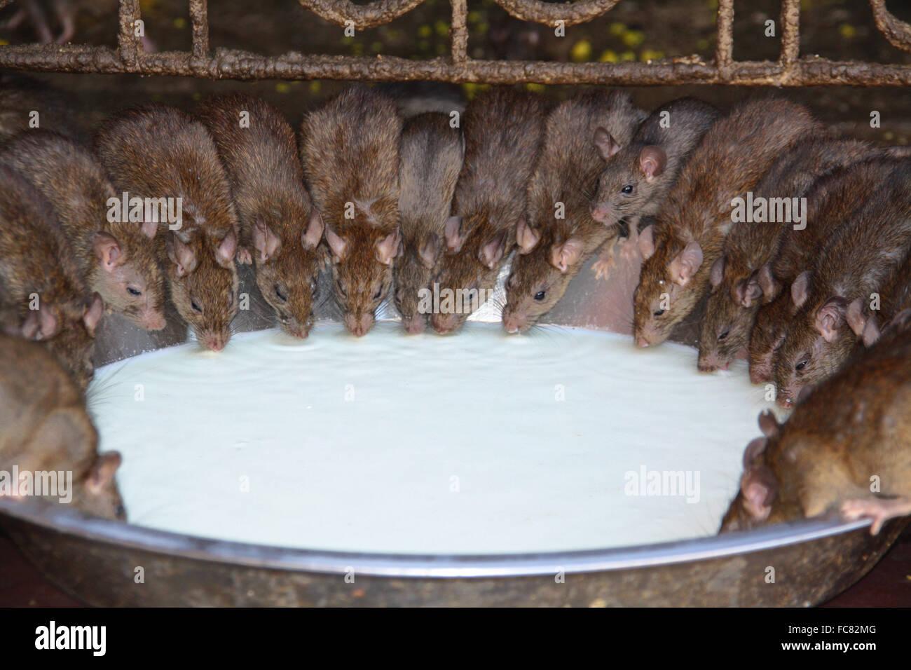 Ratten Stockbild