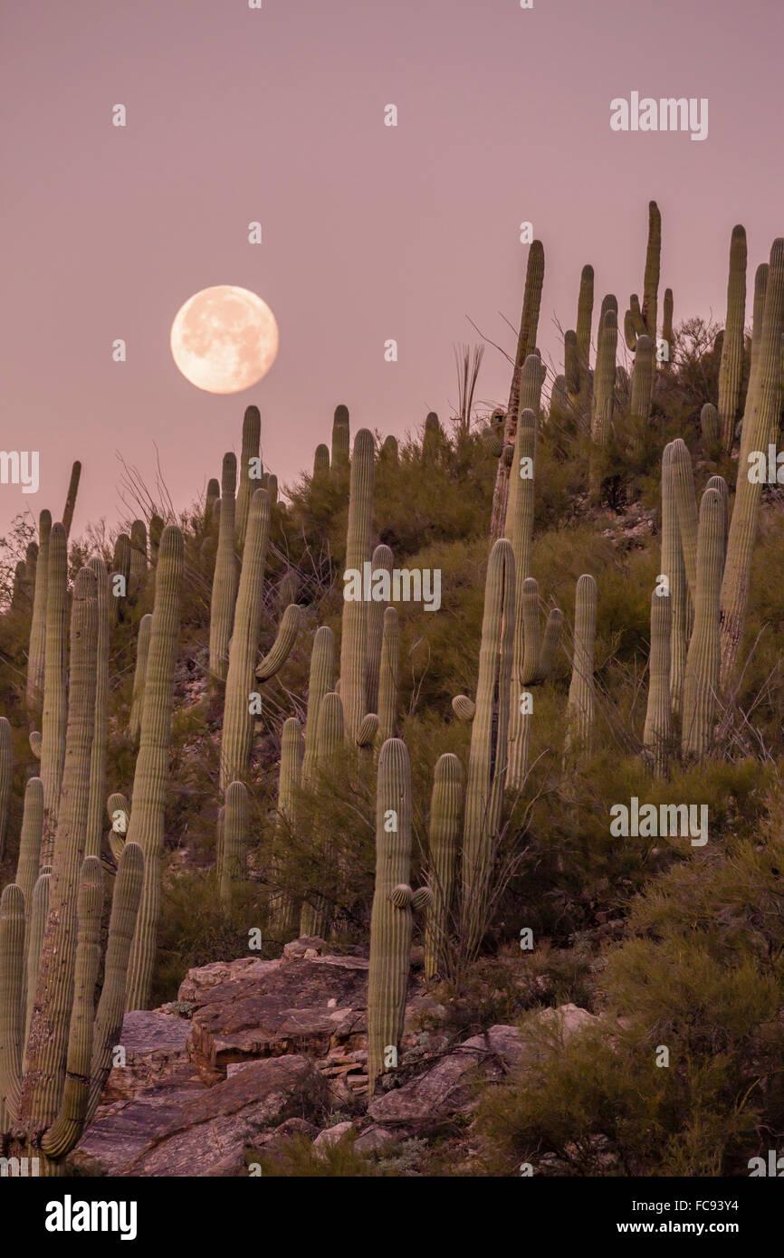 Riesigen Saguaro Kaktus (Carnegiea Gigantea), unter Vollmond in den Catalina Mountains, Tucson, Arizona, Vereinigte Stockfoto