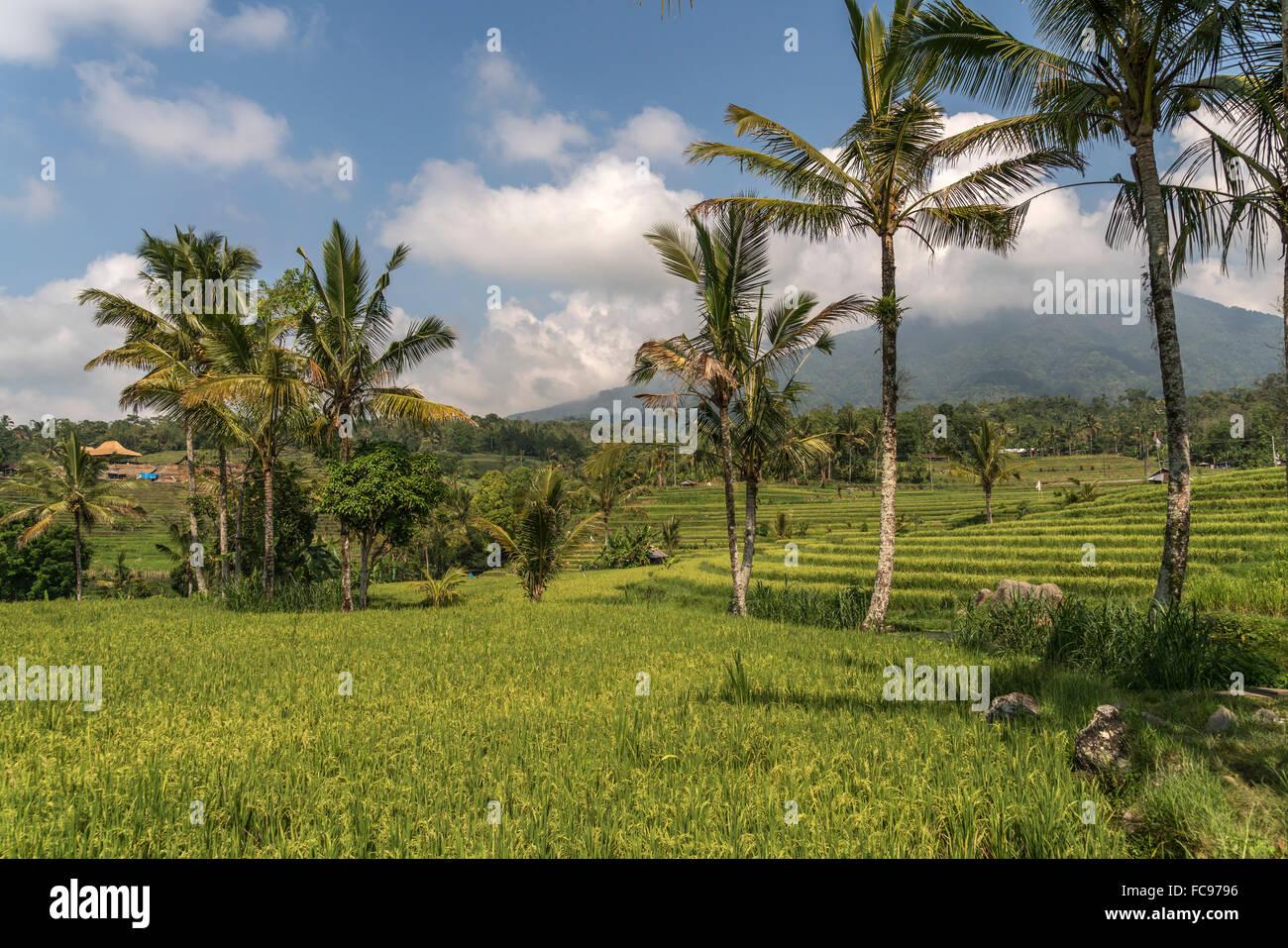 Reisterrassen von Jatiluwih, UNESCO-Weltkulturerbestätten Auf Bali, Indonesien |  die Jatiluwih Reis-Terrassen, Stockbild