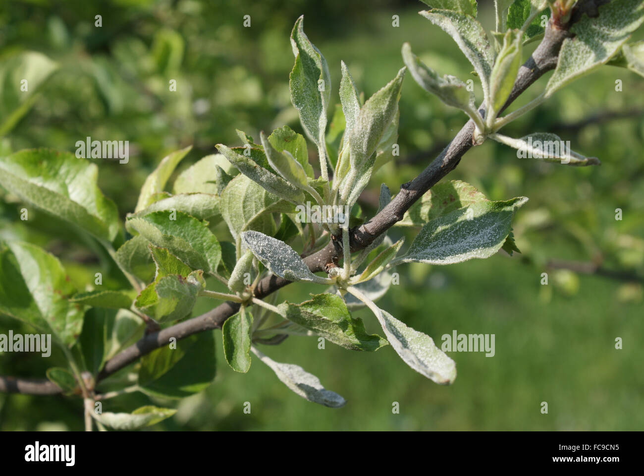 Mehltau Am Apfelbaum