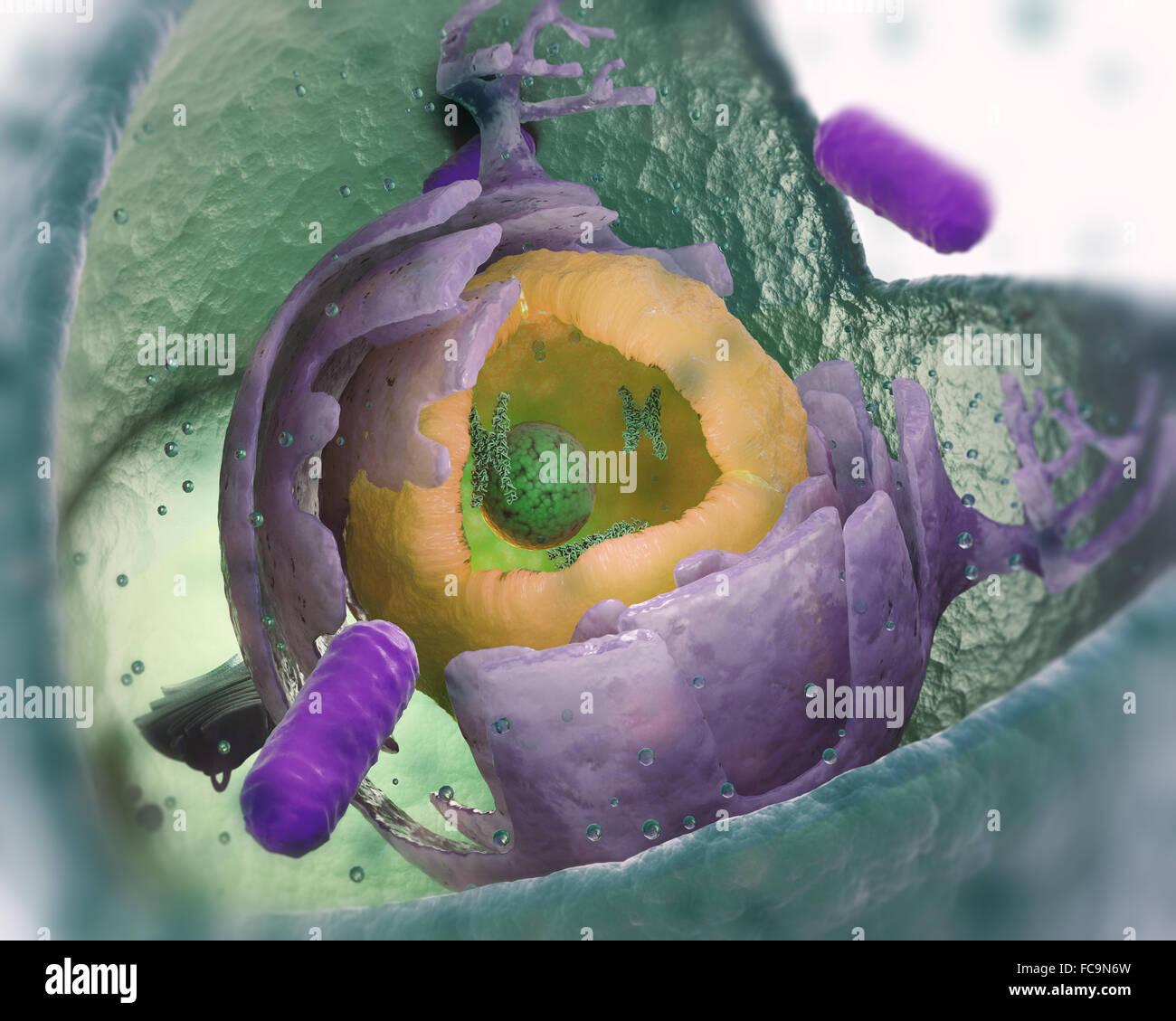 Eukaryotic Zelle Struktur Cut-away - wissenschaftlich exakte 3d illustration Stockbild