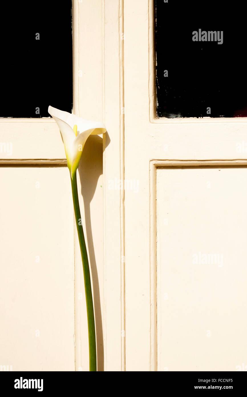 Blick auf weiße Calla Lilie vor weiße Tür Stockbild