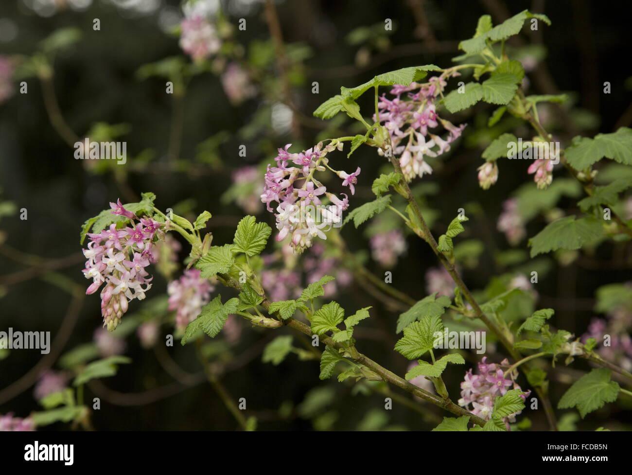 Stinken Sie Johannisbeere, Ribes Bracteosum in Blüte; Kalifornien. Stockbild