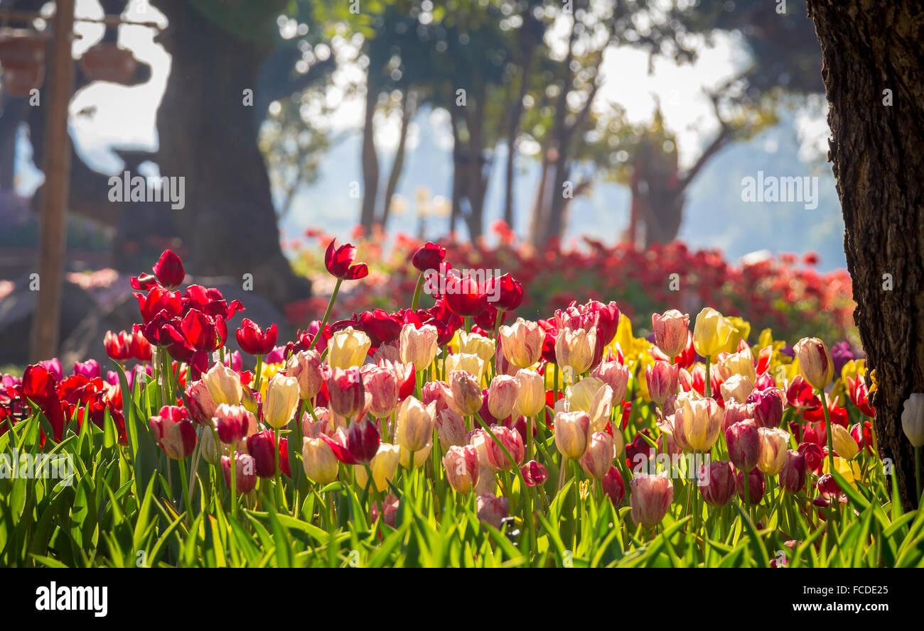 Bereich der Tulpen in verschiedenen Farben Stockbild