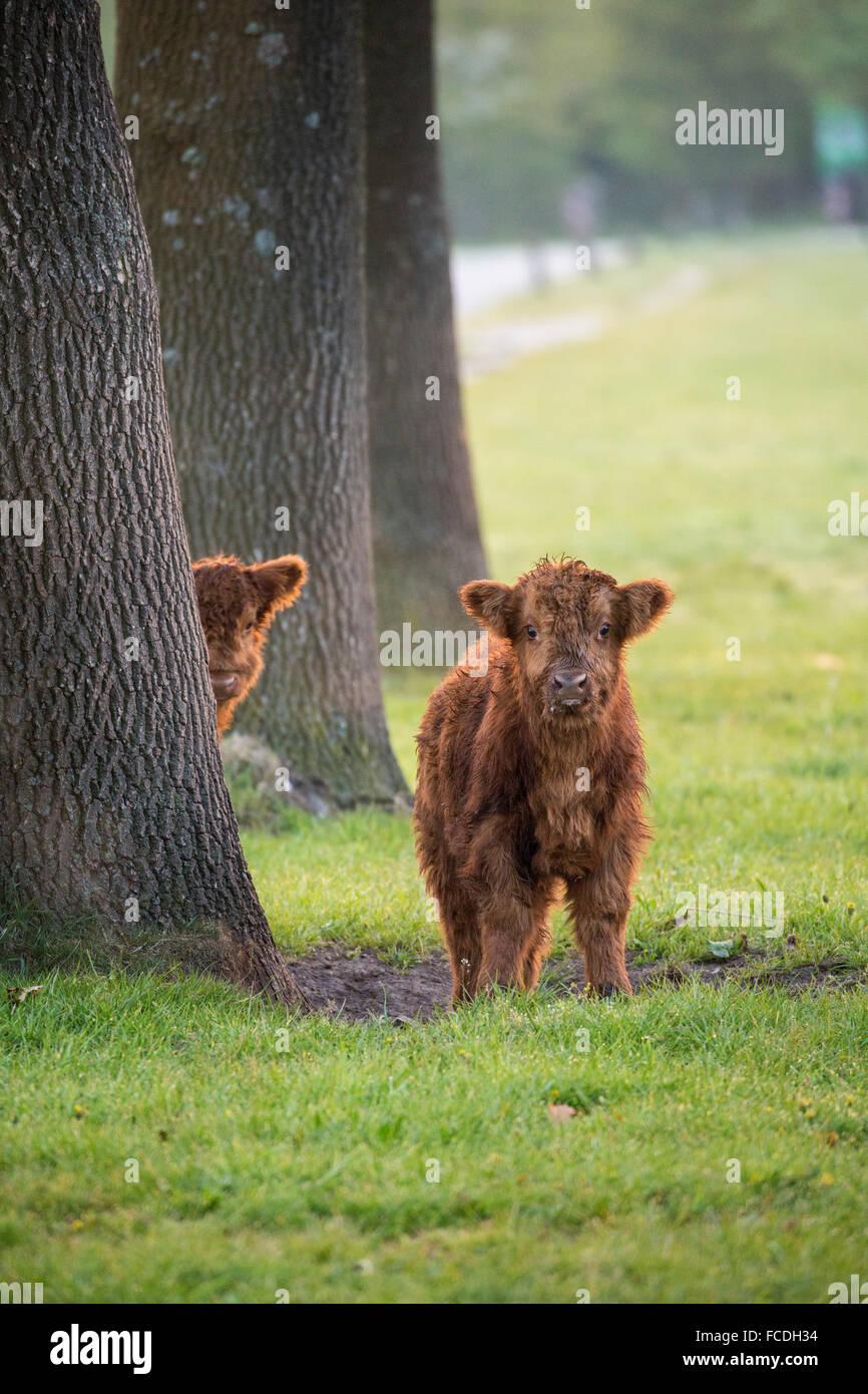 Niederlande, Schinveld, Natur behalten Roode Beek. Schottische Hochlandrinder Stockfoto