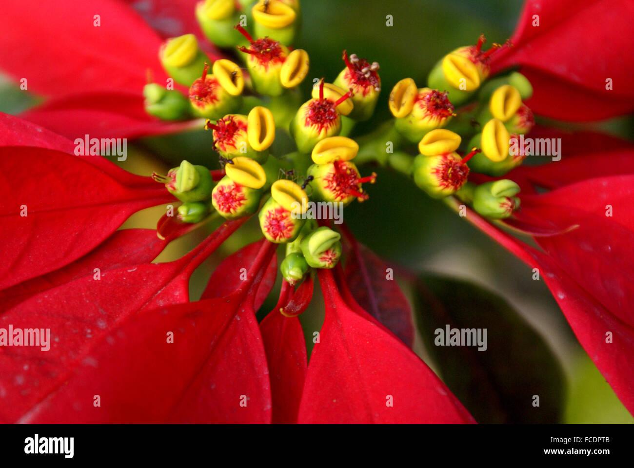 weihnachtsstern gelbe blätter