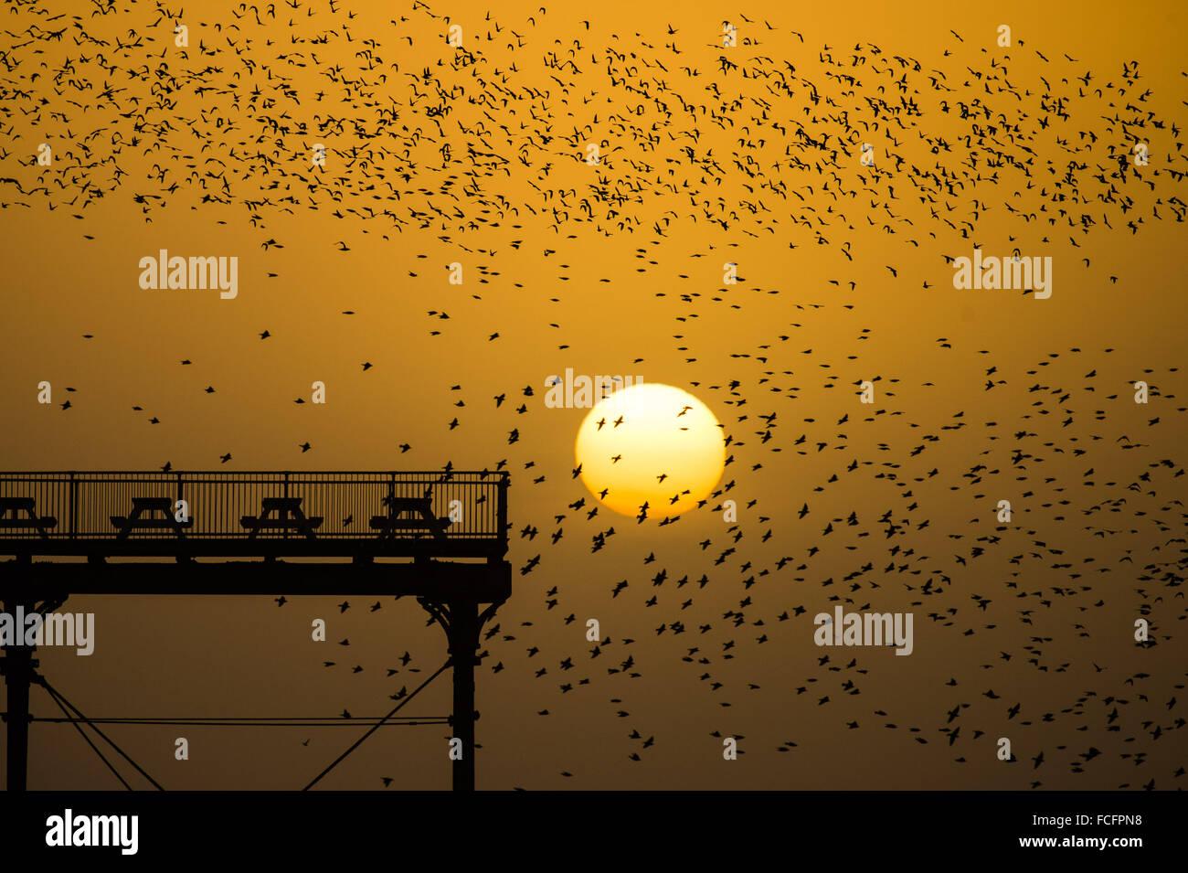Aberystwyth Wales UK, Freitag, 22. Januar 2016 Tausende Stare in den Himmel nehmen über Aberystwyth Pier bei Sonnenuntergang, Stockfoto