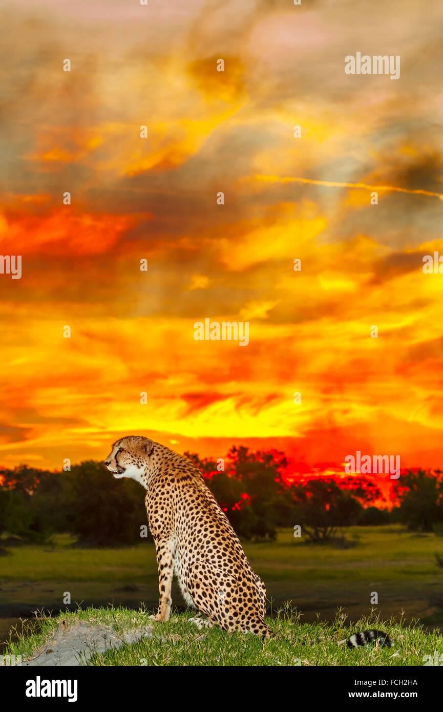Gepard vor einem genialen Sonnenuntergang (verstärkt durch einen nahe gelegenen Brand), Kwara Camp, Okavango Stockbild