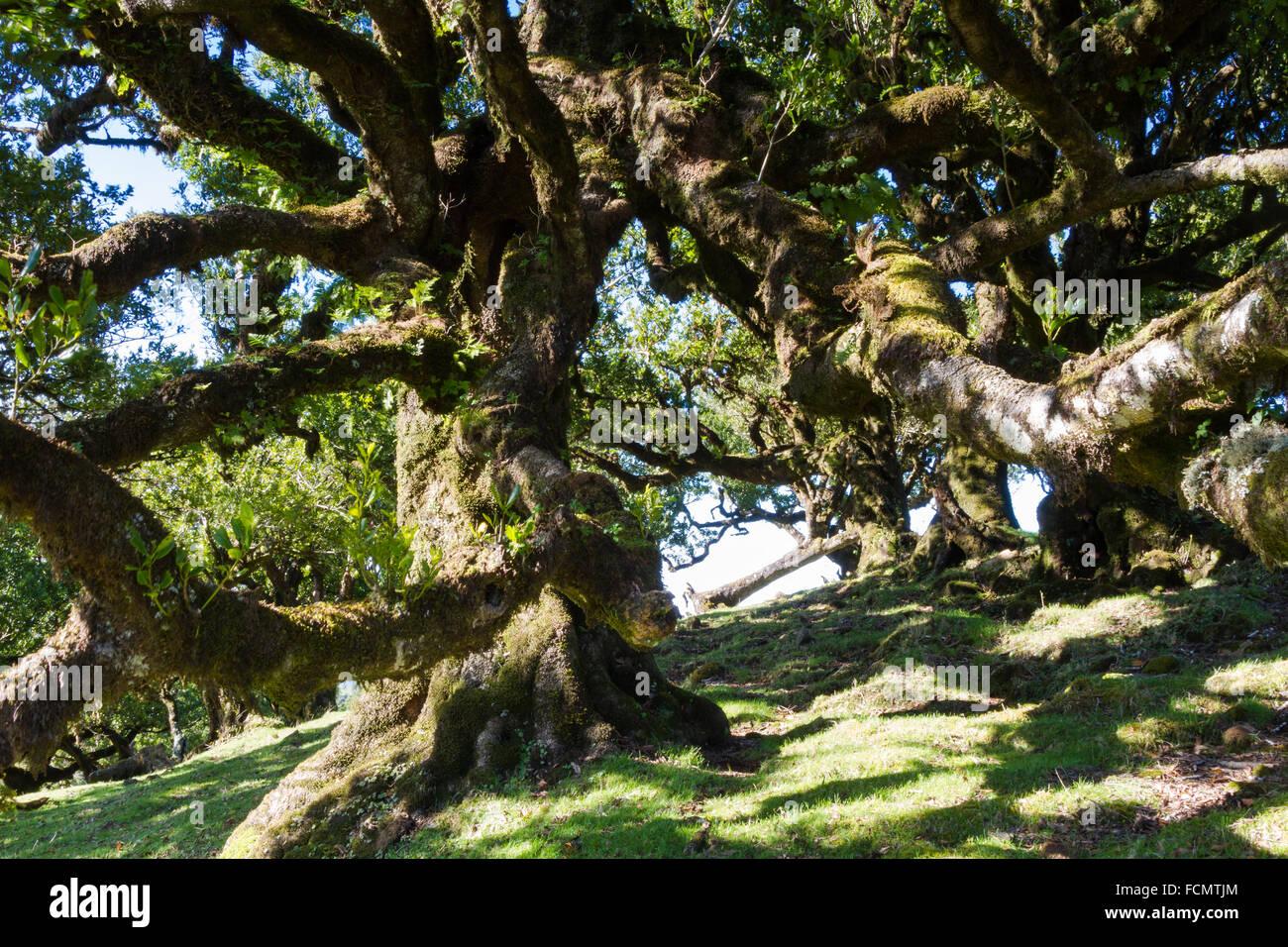 Alten Lorbeerwald im Sonnenschein, Madeira, Portugal Stockbild