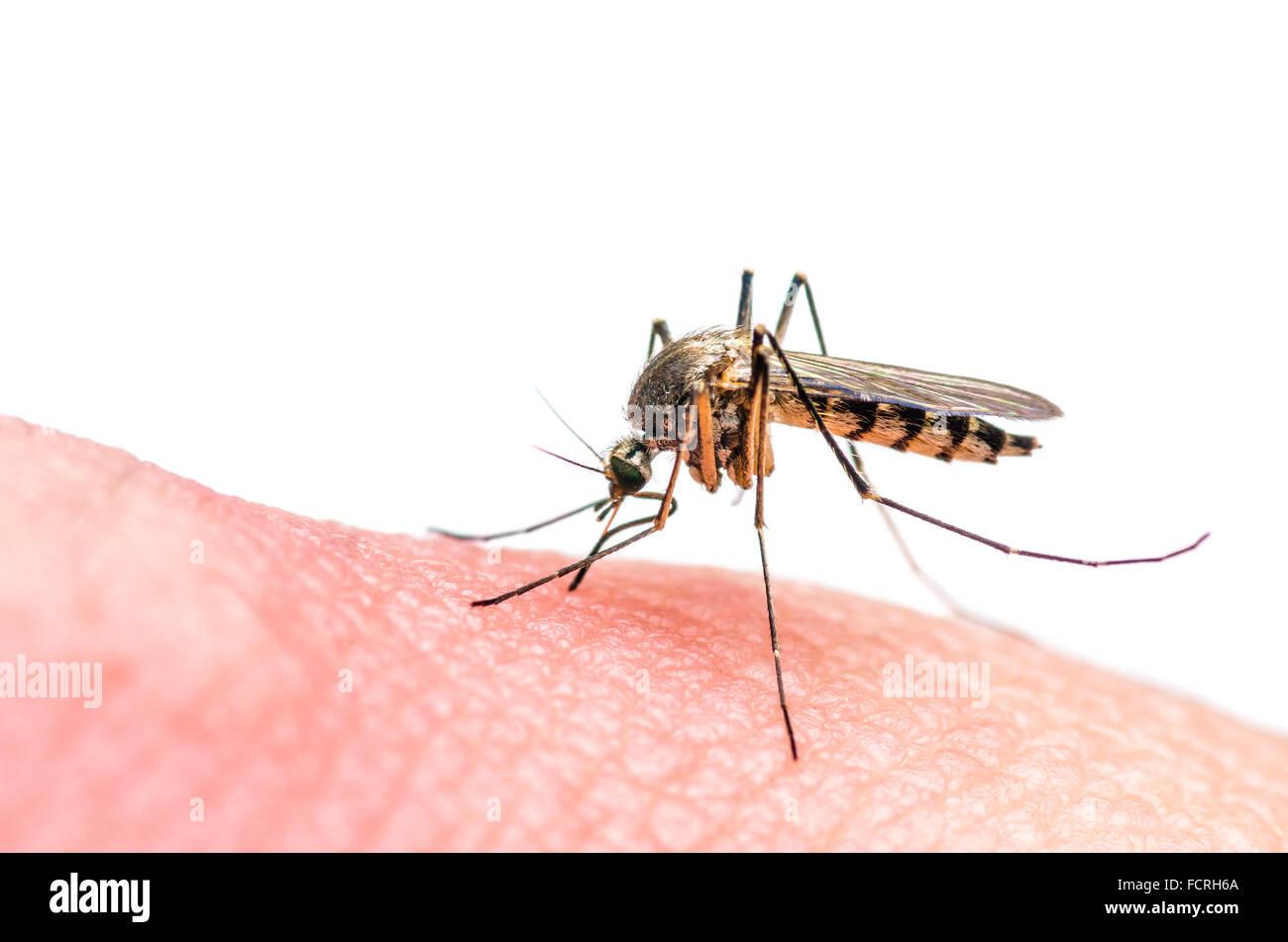 Mückenstich isoliert auf weißem Stockbild